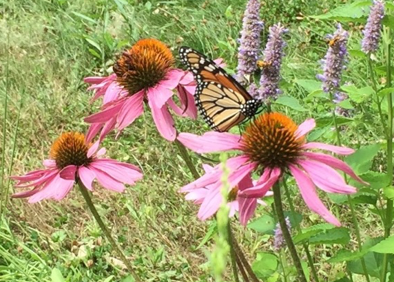 Picture of a Monarch butterfly on a Purple Coneflower