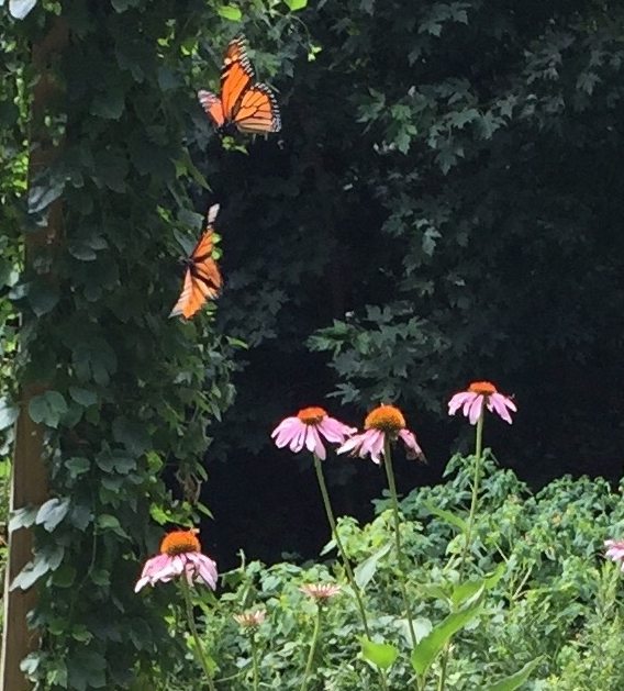 Picture of two monarch butterflies