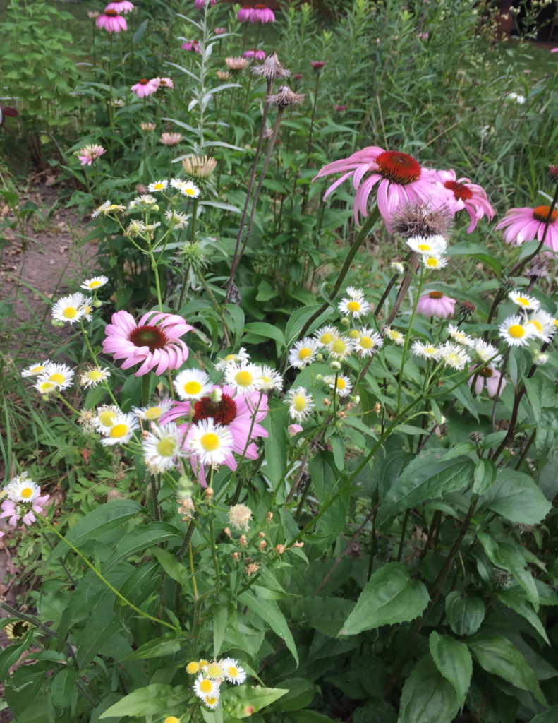Picture of Purple Coneflowers (Echinacea angustifolia)