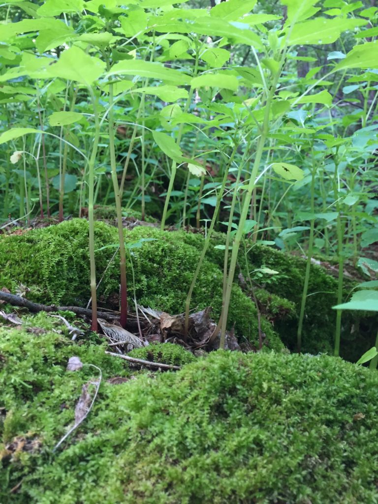 A picture of Impatiens capensis plants growing on a mossy log