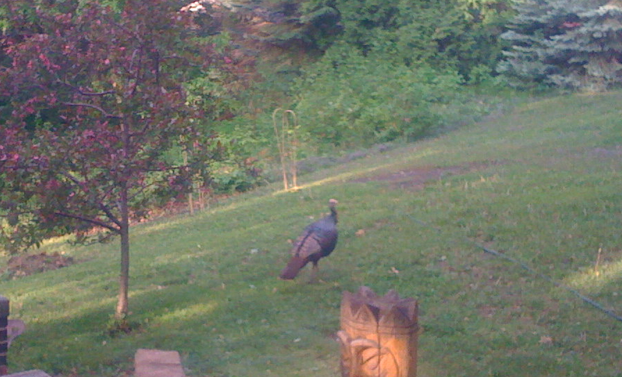 Picture of a wild turkey walking through the yard