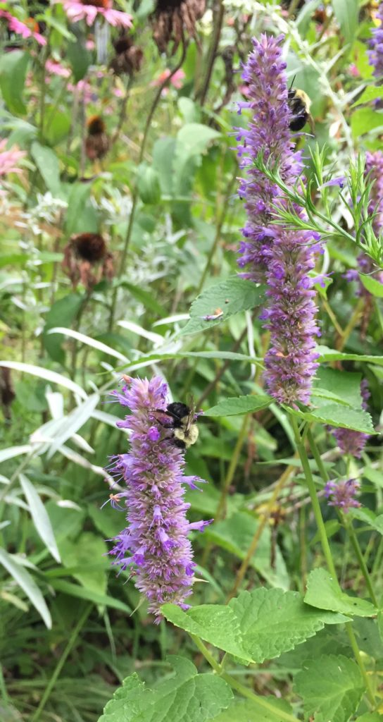 A picture of two bees on liatris plants