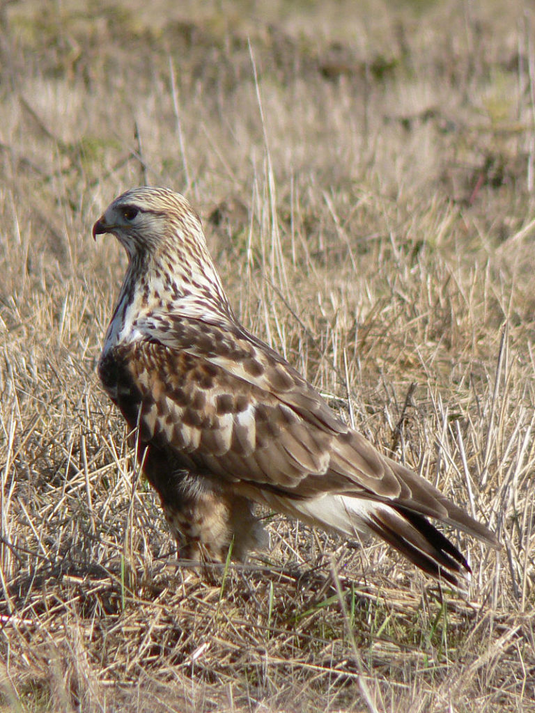 A picture of a rough-legged hawk (Buteo lagopus)