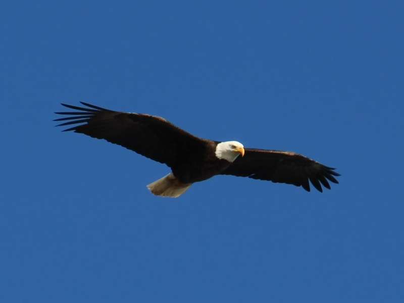 A picture of a Bald Eagle (Haliaeetus leucocephalus) in flight.