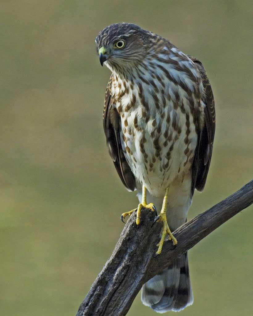 A picture of a sharp-shinned hawk (Accipiter striatus)