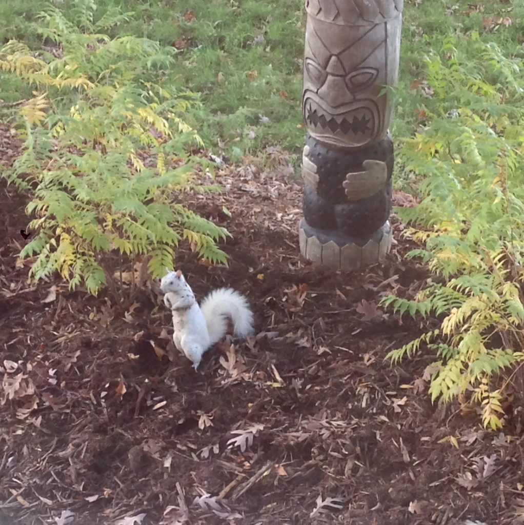 A picture of a white Eastern Gray Squirrel (Sciurus carolinensis)
