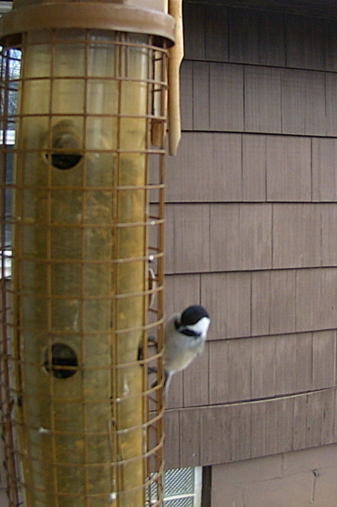 A picture of a Black-capped chickadee (Poecile atricapillus) on a bird feeder