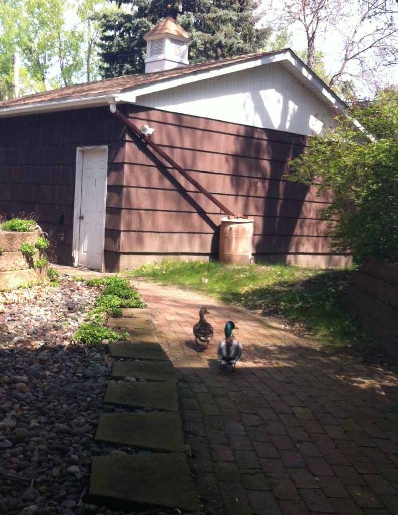 A picture of two mallards (Anas platyrhynchos) walking down our side walk