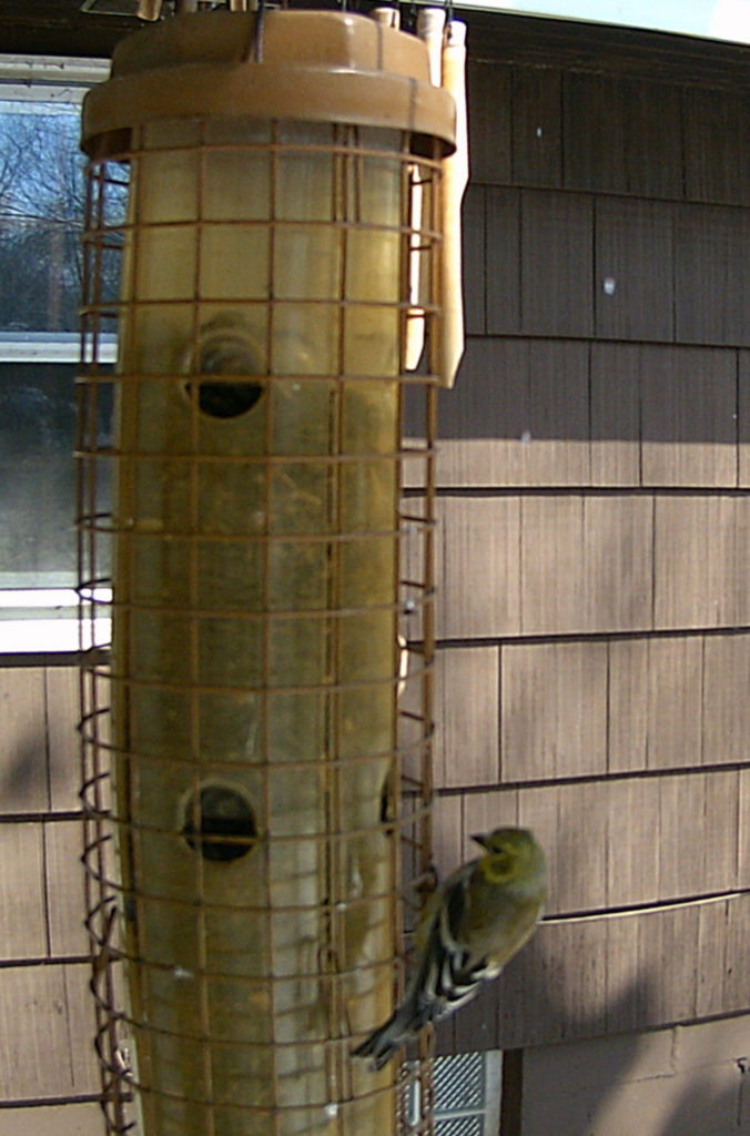 A picture of an American goldfinch (Spinus tristis) on a bird feeder.