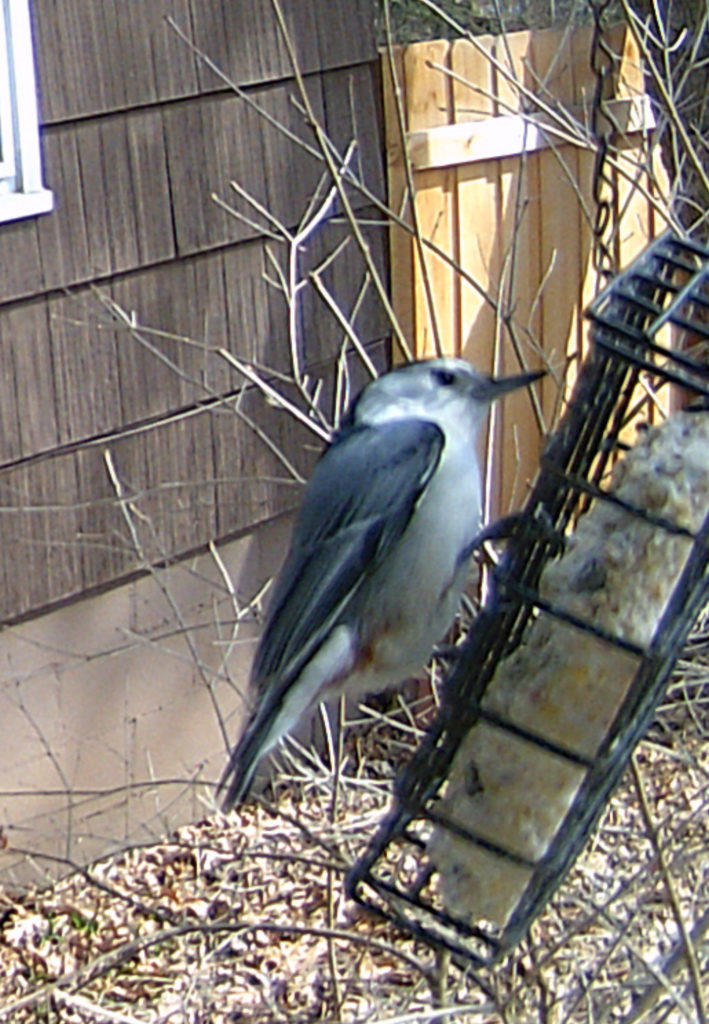 A picture of a white-breasted nuthatch (Sitta carolinensis) on a bird feeder.