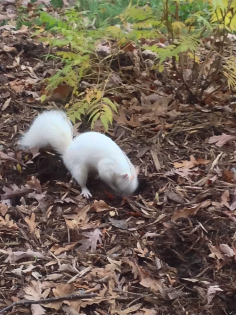 A picture of a white Eastern Gray Squirrel (Sciurus carolinensis) digging for nuts.