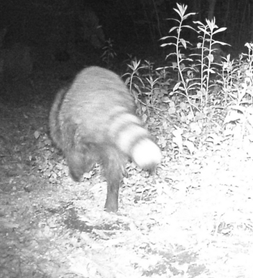 A picture of a raccoon (Procyon lotor)