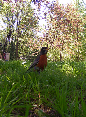 A picture of an American robin (Turdus migratorius)