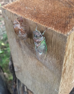 An image of a cicada and exoskeleton