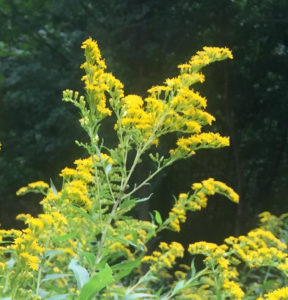 An image of goldenrod