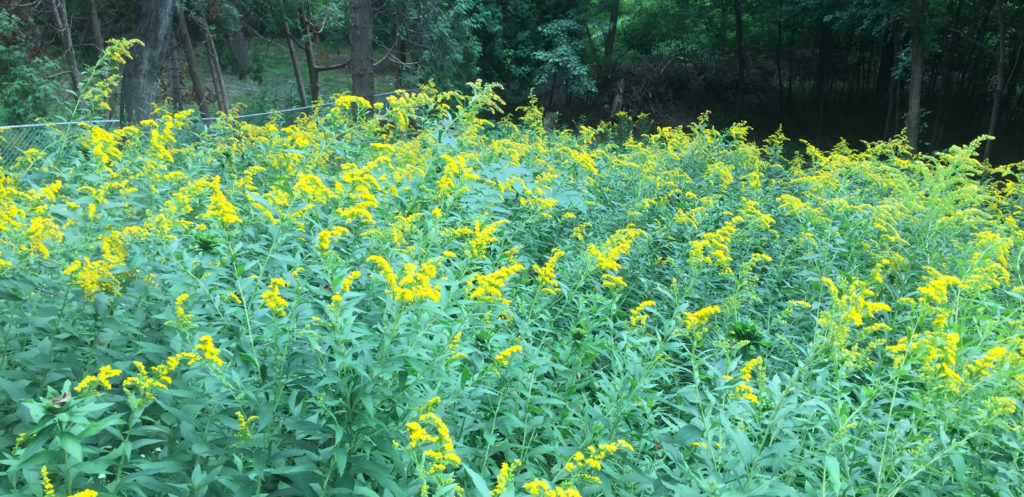 An image of goldenrod in our backyard