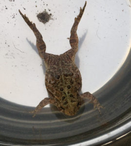 An image of an American toad