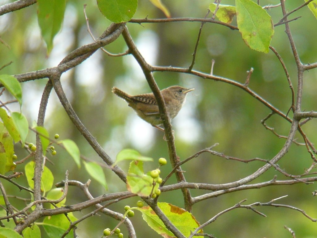 House wren on a branch