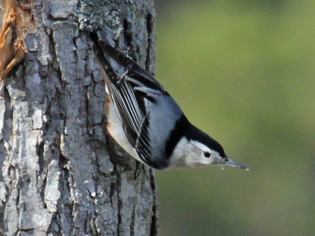 A white-breasted nuthatch on a tree