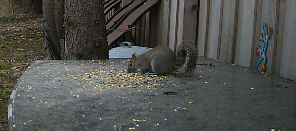 A gray squirrel eating seed