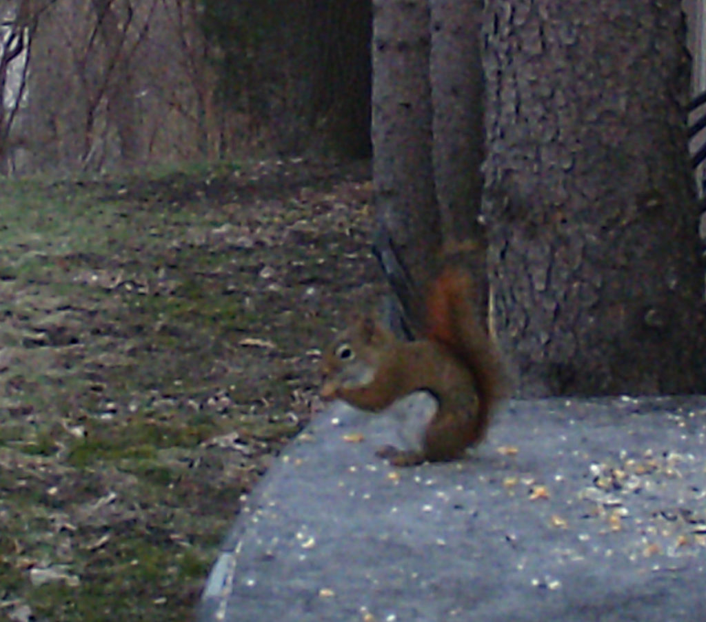 Red squirrel eating seeds