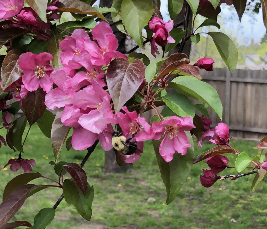 Bumblebee (Bombus spp.)