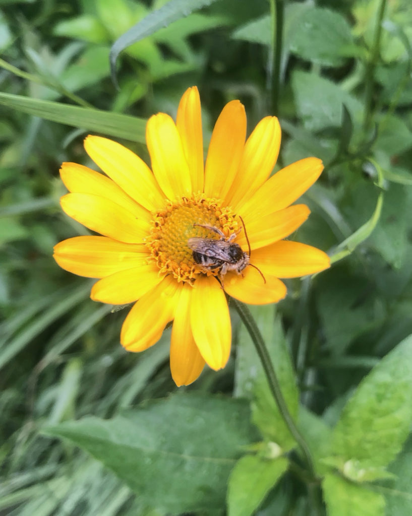 picture of bumblebee on a coreopsis flower