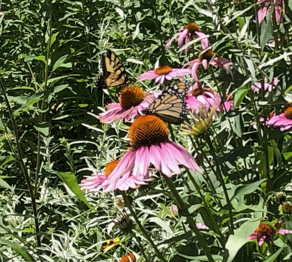 A picture of two monarch butterflies on purple coneflowers