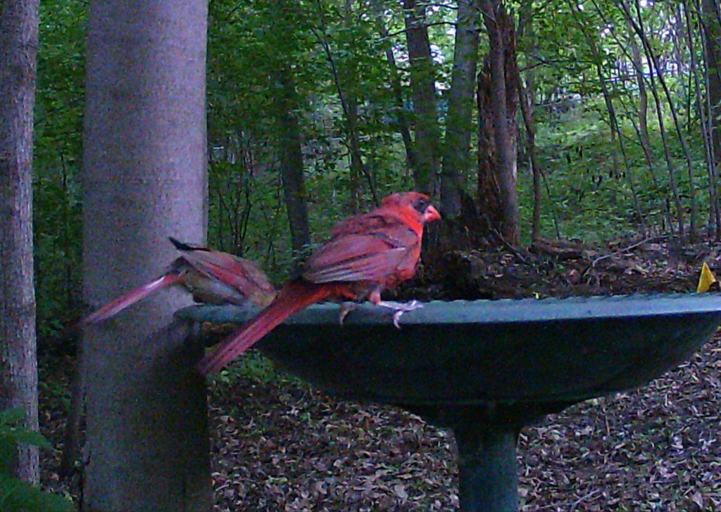 A picture of a pair of Northern Cardinals (Cardinalis cardinalis) at the bird bath.