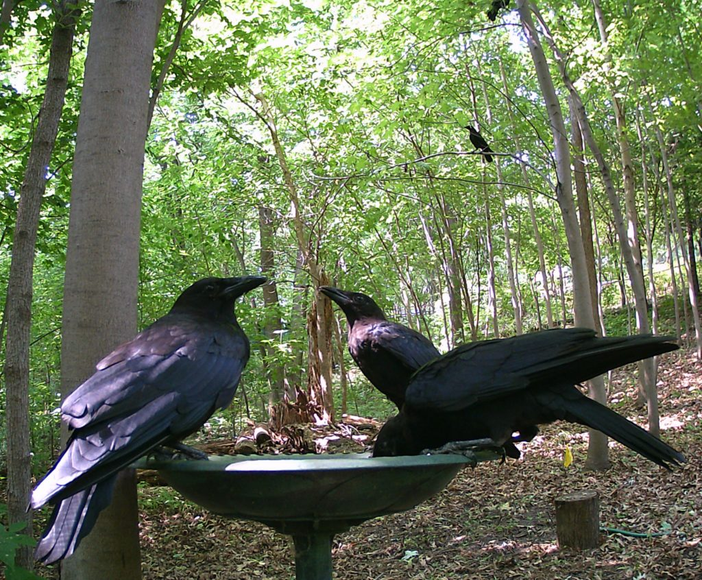 A picture of a muster of American Crows (Corvus brachyrhynchos)