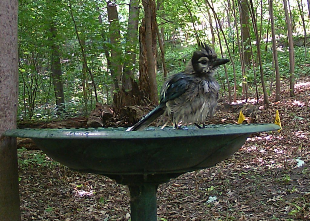 A picture of a wet Blue Jay (Cyanocitta cristata)