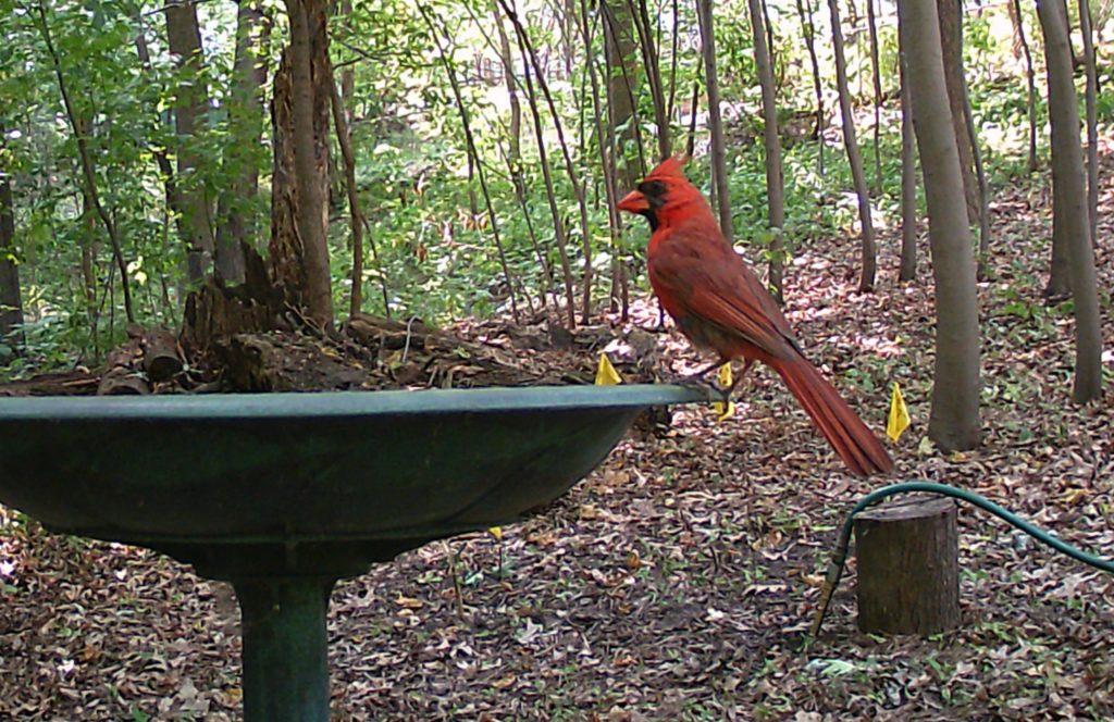 A picture of a Northern Cardinal (Cardinalis cardinalis)