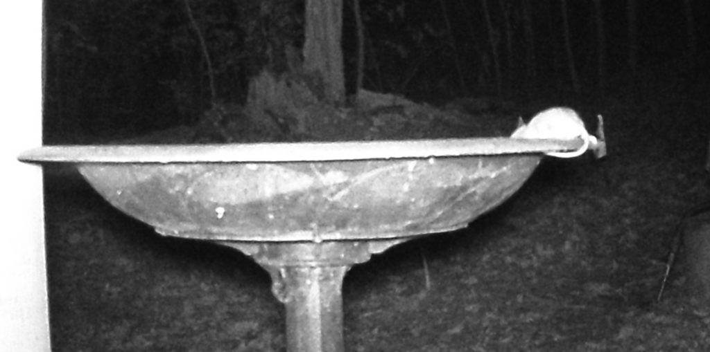A picture of a mouse drinking from the bird bath