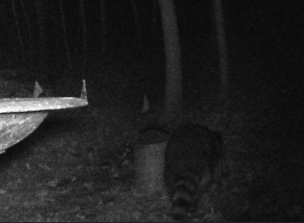 A picture of a Raccoon (Procyon lotor) walking past the bird bath.