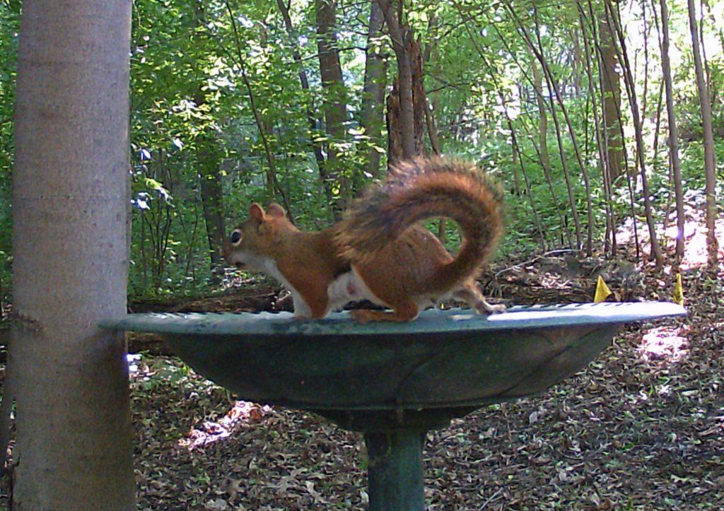 A picture of an American Red Squirrel (Tamiasciurus hudsonicus) visiting the bird bath