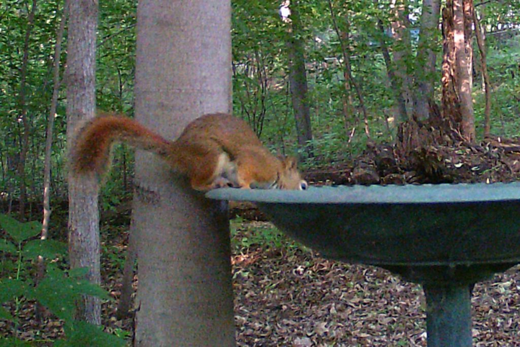 A picture of an American Red Squirrel (Tamiasciurus hudsonicus) drinking from the bird bath