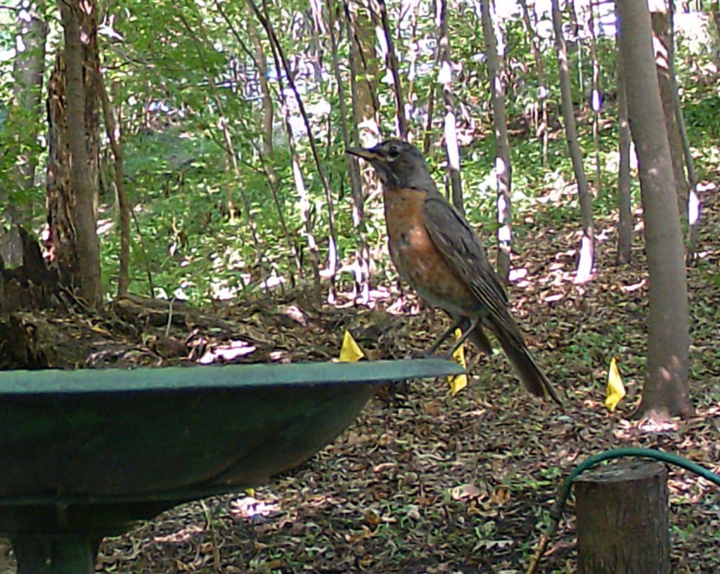 A picture of an American Robin (Turdus migratorius) perched on a bird bath