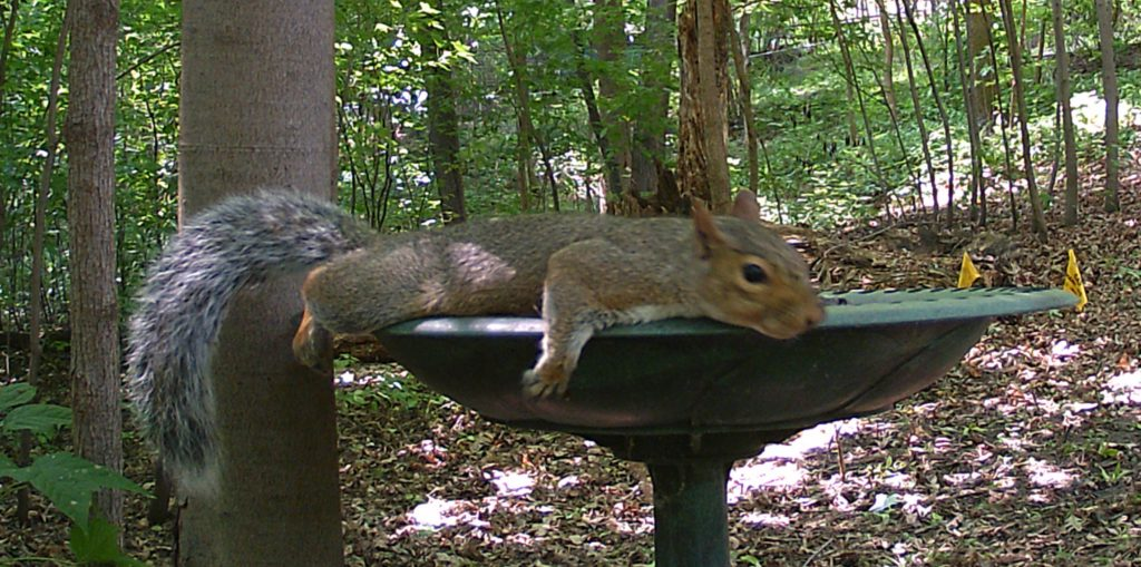 A picture of an Eastern Gray Squirrel (Sciurus carolinensis) lounging on the bird bath.